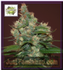 Cream of the Crop Sour turbo Diesel Fem 5 Seeds
